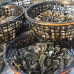 Austern nehmen Sonnenbad, Foto(c) 陳正淵