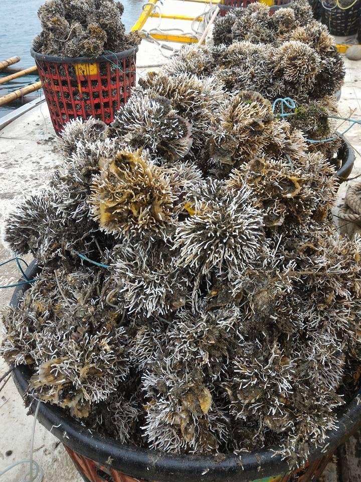 Austern mit Parasiten, Foto(c) 陳正偉